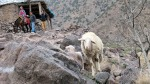 Spring lambs on the track to Mt Toubkal