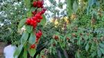 Cherry trees everywhere